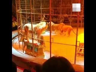 В Екатеринбургском цирке львы устроили драку посреди представления