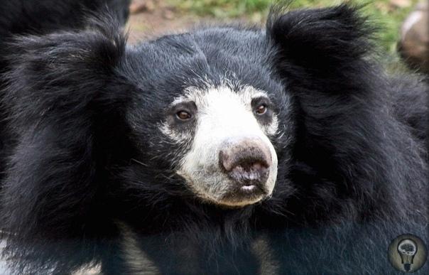 Медведь-губач. Медведь-губач настолько непохож на своих медвежьих родственников, что его даже выделили в отдельный род. Узнать его довольно легко по длинному и подвижному рылу с голыми и