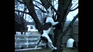 Jake climbing a tree - American Bulldog
