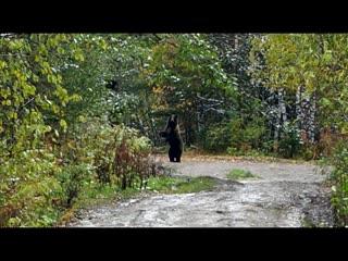 Bear iremel