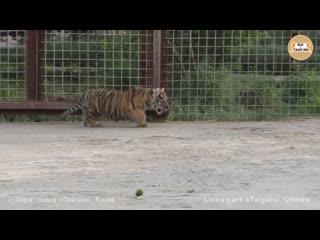 Заботливая тигрица скарлетт с малышами. тайган. caring tigress scarlett with babies. taigan