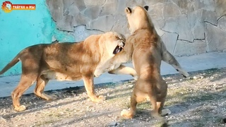 Ну ОЧЕНЬ интересный вечер! Песни, гулянки, львицы отжигают и даже ДИКИЙ ЛИС! Тайган. Life of lions.