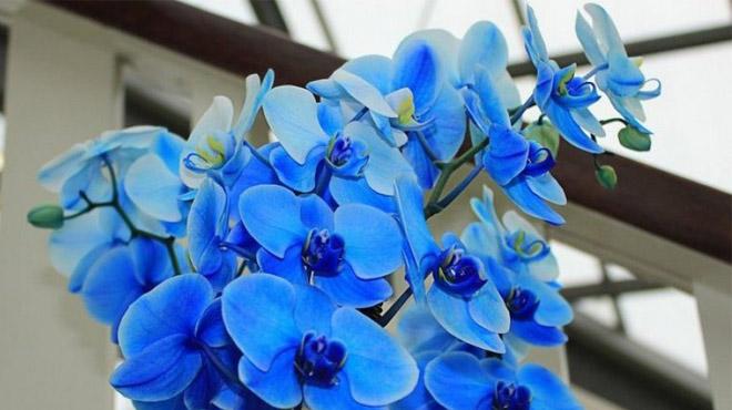 КРАШЕНЫЙ ФАЛЕНОПСИС «Phalaenopsis Royal Blue»