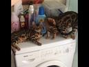Утро питомника бенгальских кошек