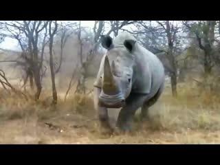 2-х тонный носорог напал на машину с туристами