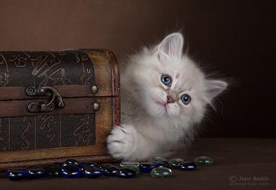 Сколько стоит сибирский кот в Пушкино