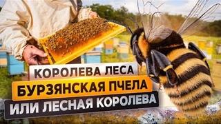 Бурзянская пчела или лесная королева