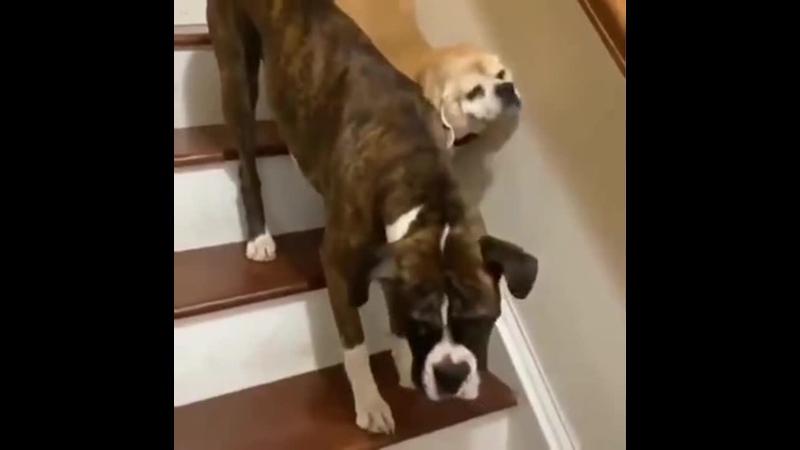 A gооd dоg prоtесts his blind friеnd dоwn thе stairs