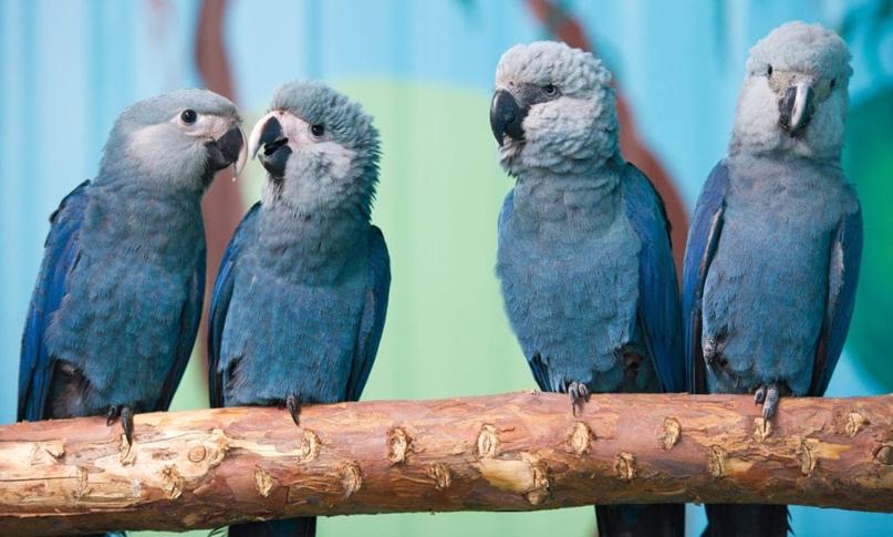 Голубые ара — вид, который вымер в природе, но сохранён в зоопарках и частных коллекциях