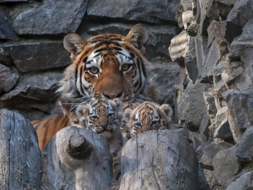 Семья тигров в Новосибирском зоопарке