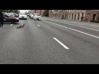 Утиная семья переходит дорогу в Москве