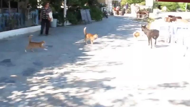 Банда котов напала на собаку