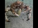 КРАБ-ПАУК - несёт морской огурец.