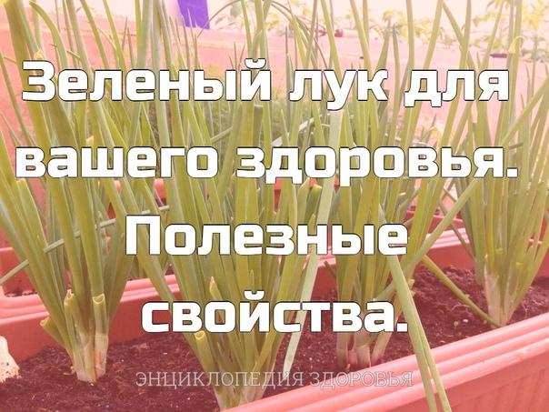 Зеленый лук для вашего здоровья. Полезные свойства.