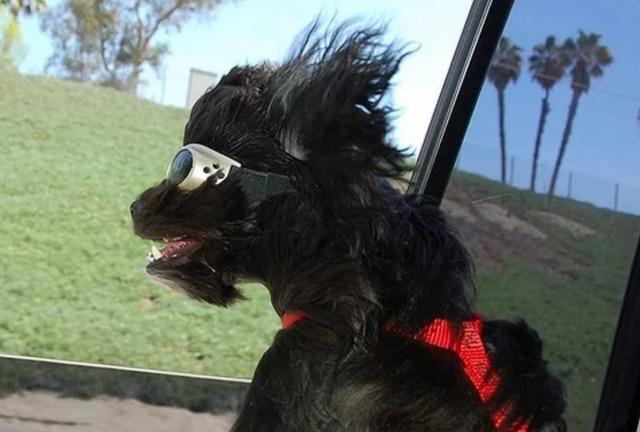 Почему для собаки опасно высовывать голову из окна автомобиля во время движения?