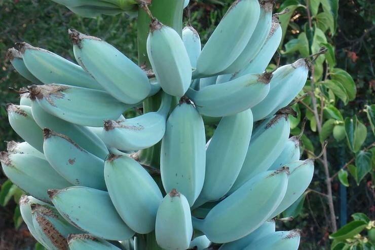 Поразительная трава: бананы, какими вы их еще не видели
