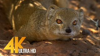 4K African Wildlife - Wild Animals of Africa - Real Sounds of Africa - 10 bit color