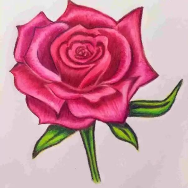 drawings of roses - HD898×1024