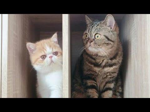Exotic Shorthair Cats Chachamaru Kotetsu Cute Bromance