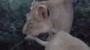 Зима близко, львы стали активными по утрам. Winter is coming, lions on chilli morning