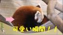 【Red Panda】丸くなり横になる瞬間がかわいいレッサーパンダの赤ちゃん【Baby】