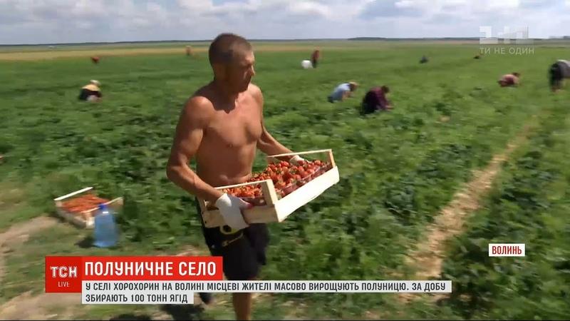 Жителі села на Волині масово вирощують полуницю за добу збирають 100 тонн ягід