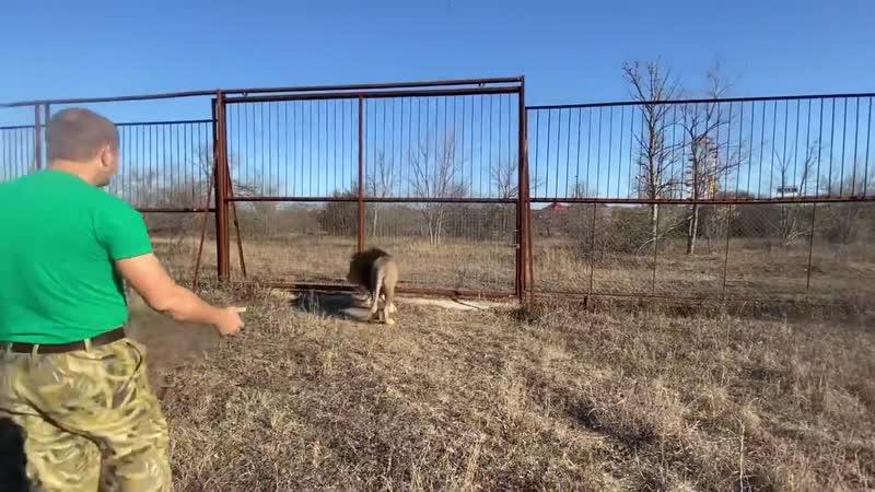 Мы выпускаем львов Слежку и Алекса в большую саванну